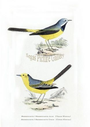 Wagtail, Citrine & Yellow Wagtail Ref: EuropeanBirds-e42